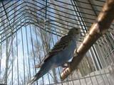 Попугаи и птицы Попугаи, цена 100 Грн., Фото