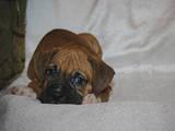 Собаки, щенята Боксер, ціна 500 Грн., Фото