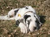 Собаки, щенята Німецький дог, ціна 12000 Грн., Фото