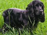 Собаки, щенята Англійський коккер, ціна 500 Грн., Фото