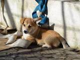 Собаки, щенки Вельш корги пемброк, цена 5000 Грн., Фото