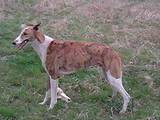 Собаки, щенки Грейхаунд, цена 1000 Грн., Фото