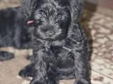 Собаки, щенята Цвергшнауцер, ціна 3000 Грн., Фото