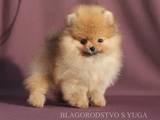 Собаки, щенята Карликовий шпіц, ціна 22000 Грн., Фото