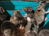 Гризуни Домашні щури, ціна 20 Грн., Фото