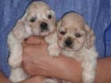 Собаки, щенята Американський коккер, Фото