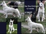 Собаки, щенята Німецька вівчарка, ціна 13500 Грн., Фото