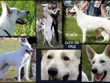 Собаки, щенки Немецкая овчарка, цена 13500 Грн., Фото