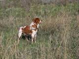 Собаки, щенки Спаривание, цена 1 Грн., Фото