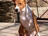 Собаки, щенята Басенджі, ціна 9000 Грн., Фото