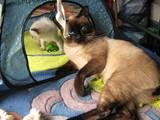 Кошки, котята Меконгский бобтейл, цена 500 Грн., Фото