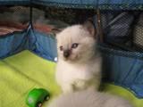 Кішки, кошенята Меконгській бобтейл, ціна 500 Грн., Фото