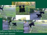 Собаки, щенята Чорний тер'єр, ціна 3500 Грн., Фото