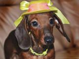 Собаки, щенки Гладкошерстная кроличья такса, цена 1500 Грн., Фото