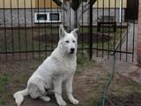 Собаки, щенята Біла Швейцарська вівчарка, ціна 2000 Грн., Фото
