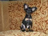 Собаки, щенки Русский длинношерстный тойтерьер, цена 2500 Грн., Фото