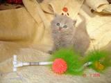 Кошки, котята Британская длинношёрстная, цена 2000 Грн., Фото