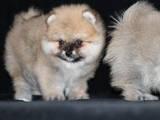 Собаки, щенята Малий шпіц, ціна 6500 Грн., Фото
