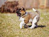 Собаки, щенята Американський акіта, ціна 1000 Грн., Фото