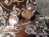Грызуны Морские свинки, цена 60 Грн., Фото