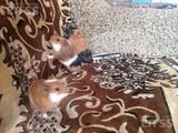 Гризуни Морські свинки, ціна 60 Грн., Фото