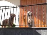 Собаки, щенята Золотистий ретрівер, ціна 1500 Грн., Фото