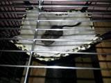 Грызуны Дегу, цена 120 Грн., Фото