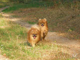 Собаки, щенки Карликовый шпиц, цена 3000 Грн., Фото