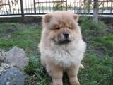 Собаки, щенята Чау-чау, ціна 4000 Грн., Фото