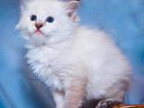 Кішки, кошенята Різне, ціна 3500 Грн., Фото