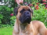 Собаки, щенята Бульмастиф, Фото
