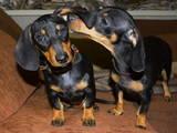 Собаки, щенята Гладкошерста такса, ціна 200 Грн., Фото