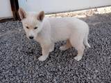 Собаки, щенки Восточно-Сибирская лайка, цена 800 Грн., Фото