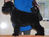 Собаки, щенята Чорний тер'єр, ціна 8500 Грн., Фото