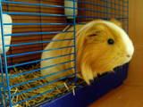 Гризуни Морські свинки, ціна 5 Грн., Фото
