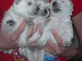 Собаки, щенята Вестхайленд уайт тер'єр, ціна 6000 Грн., Фото