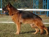 Собаки, щенки Восточно-Европейская овчарка, цена 2500 Грн., Фото