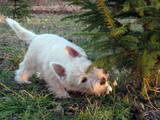 Собаки, щенята Вестхайленд уайт тер'єр, ціна 5000 Грн., Фото