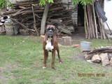 Собаки, щенки Боксер, Фото