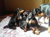 Собаки, щенята Карликовий пінчер, ціна 2000 Грн., Фото