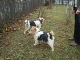 Собаки, щенки Жесткошерстный фокстерьер, цена 500 Грн., Фото