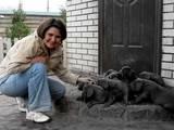 Собаки, щенята Німецький дог, ціна 5600 Грн., Фото