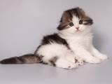 Кошки, котята Хайленд Фолд, цена 5500 Грн., Фото