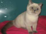 Кішки, кошенята Колор-пойнт короткошерстий, ціна 800 Грн., Фото