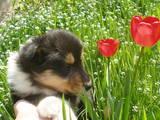 Собаки, щенята Довгошерстий коллі, ціна 5000 Грн., Фото
