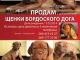 Собаки, щенки Бордосский дог, цена 6000 Грн., Фото