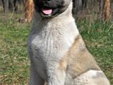 Собаки, щенки Американский акита, цена 6000 Грн., Фото