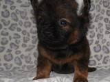 Собаки, щенята Померанський шпіц, ціна 1500 Грн., Фото