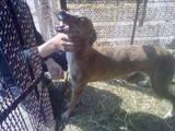 Собаки, щенята Грейхаунд, ціна 2000 Грн., Фото