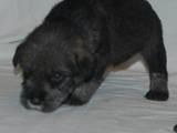 Собаки, щенята Міттельшнауцер, ціна 3000 Грн., Фото